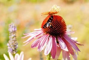 farfalla sul fiore di echinacea