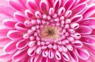 primo piano di un bel fiore rosa crisantemo. foto