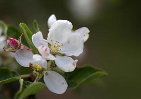 il colpo di macro di fiori di melo in fiore foto