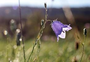 fiore campana con rugiada del mattino foto