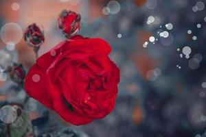 bellissimo sfondo romantico con rosa rossa foto