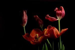 tulipani foto