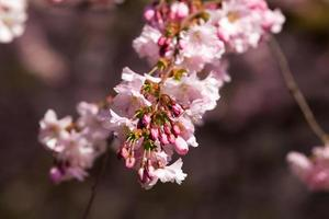 fiore di ciliegio, fiori di sakura
