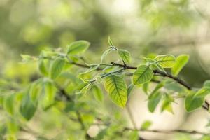germogli all'inizio della primavera con foglie minuscole.