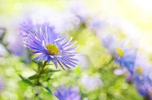 fiori viola foto