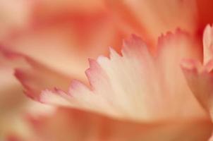 frammento di fiore di garofano foto