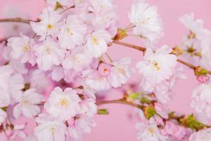 fiore di ciliegio su sfondo rosa foto
