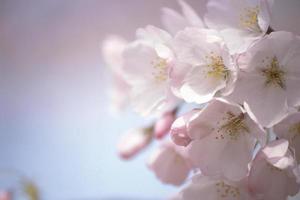 fiori di ciliegio foto