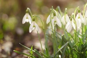 teneri bucaneve primaverili all'inizio della primavera