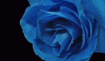 rosa blu foto
