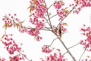 uccello su fiori di ciliegio e sakura foto