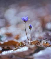 bellissimi fiori di epatiche foto