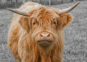 bestiame dell'altopiano foto
