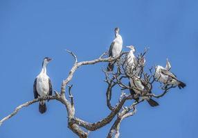 cormorano (pied shag) foto