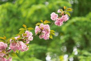 fiori di ciliegio rosa contro foglie verdi foto