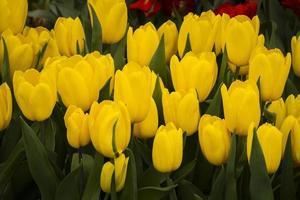 tulipano giallo foto