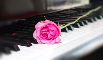 rosa rosa su un tasto di pianoforte foto