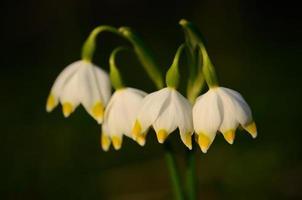 fiore di fiocco di neve in fiore