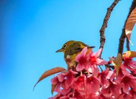 uccello dagli occhi bianchi su un ramoscello di fiori di ciliegio rosa (sakura) foto