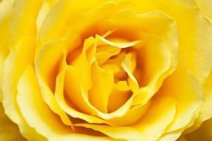 primo piano di bella rosa gialla foto