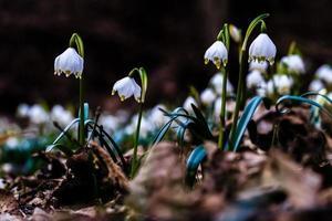 fiore di leucojum fiocco di neve foto