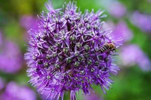 fiore singolo allium con testa viola brillante su un giardino foto