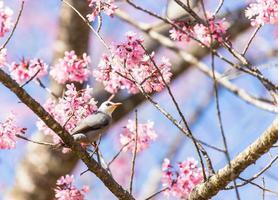 bulbul dalla testa bianca uccello sul ramoscello di sakura foto