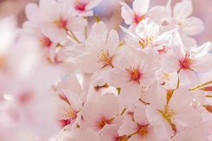 fiori di ciliegio rosa