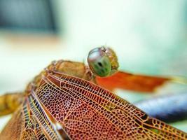 primo piano di una libellula foto