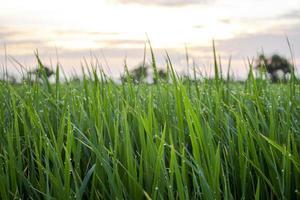 primo piano di un campo di erba verde