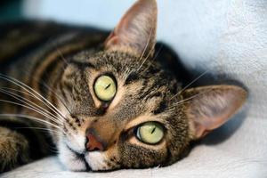 gatto mau egiziano - occhi grandi foto