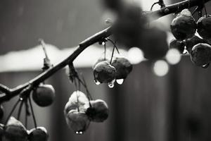 foto in scala di grigi di frutti di bosco