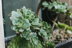 piante succulente verdi foto