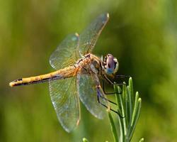 libellula su una pianta