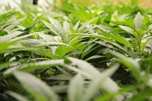 raccolto di marijuana medica foto