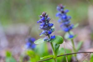 pianta fiorita di bugle foto