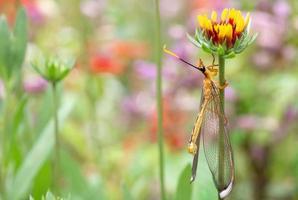 libellula gialla che si appollaia su un fiore foto