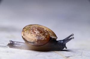 primo piano di una lumaca di monachoides vicinus