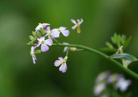 Close up di ravanello fiore foto