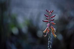 fiore di aloe vera foto