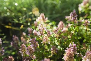 timo - erba curativa e condimento che cresce in natura foto