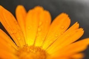 primo piano del fiore di calendula con gocce di rugiada foto
