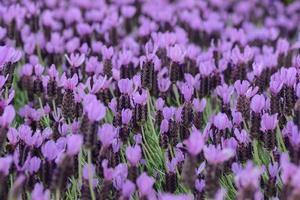 sfondo viola fiore di lavanda spagnola foto