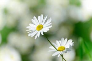 fiori di camomilla foto