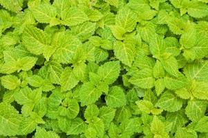 manto erboso verde smeraldo foto