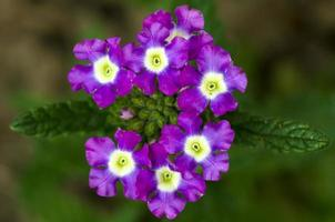 fiori viola sul ramo foto