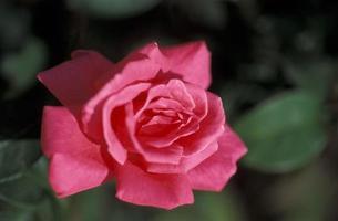 rosa rosa vivace foto