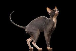 gatto sphynx divertente in piedi e alzando lo sguardo isolato sul nero foto