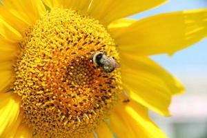 ape sul fiore giallo foto