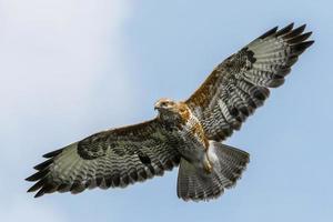Poiana comune catturata in volo sotto il cielo blu